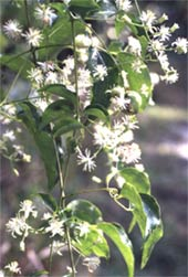 Clematis dioica