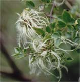 Clematis parvifrons
