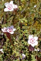 Commersonia microphylla