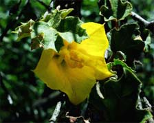 Fremontodendron mexicanum