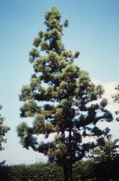 Genre Cryptomeria