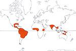 Carte de repartition des Limnocharitaceae