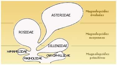 Magnolopsides