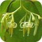 Famille des Alangiaceae