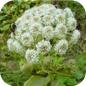 Famille des Apiaceae
