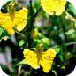 Famille des Balsaminaceae