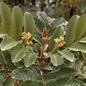 Famille des Brunelliaceae
