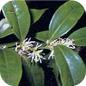 Famille des Buxaceae