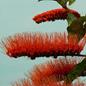 Famille des Combretaceae