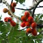 Famille des Connaraceae