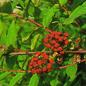 Famille des Coriariaceae