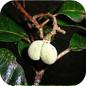 Famille des Dichapetalaceae