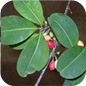 Famille des Erythroxylaceae