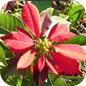 Famille des Euphorbiaceae