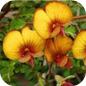 Famille des Fabaceae