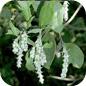Famille des Garryaceae
