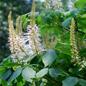Famille des Hippocastanaceae