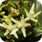 Famille des Humiriaceae