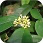 Famille des Icacinaceae