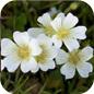 Famille des Limnanthaceae