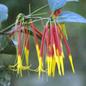 Famille des Loranthaceae