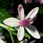 Famille des Meliaceae