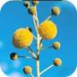 Famille des Mimosaceae
