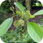 Famille des Nyssaceae