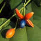 Famille des Olacaceae