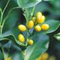 Famille des Opiliaceae