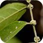 Famille des Pandaceae