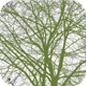 Famille des Peridiscaceae