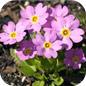 Famille des Primulaceae