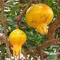 Famille des Punicaceae