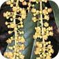Famille des Quiinaceae