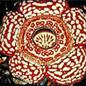 Famille des Rafflesiaceae
