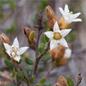 Famille des Rhamnaceae