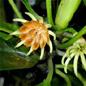 Famille des Rhizophoraceae