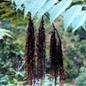 Famille des Rhoipteleaceae