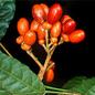 Famille des Simaroubaceae