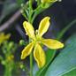 Famille des Surianaceae