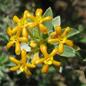 Famille des Thymelaeaceae