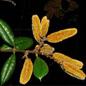 Famille des Trigoniaceae