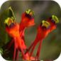 Famille des Tropaeolaceae