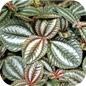 Famille des Urticaceae